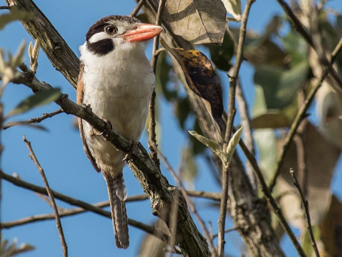 White-eared Puffbird - Flavio Moraes