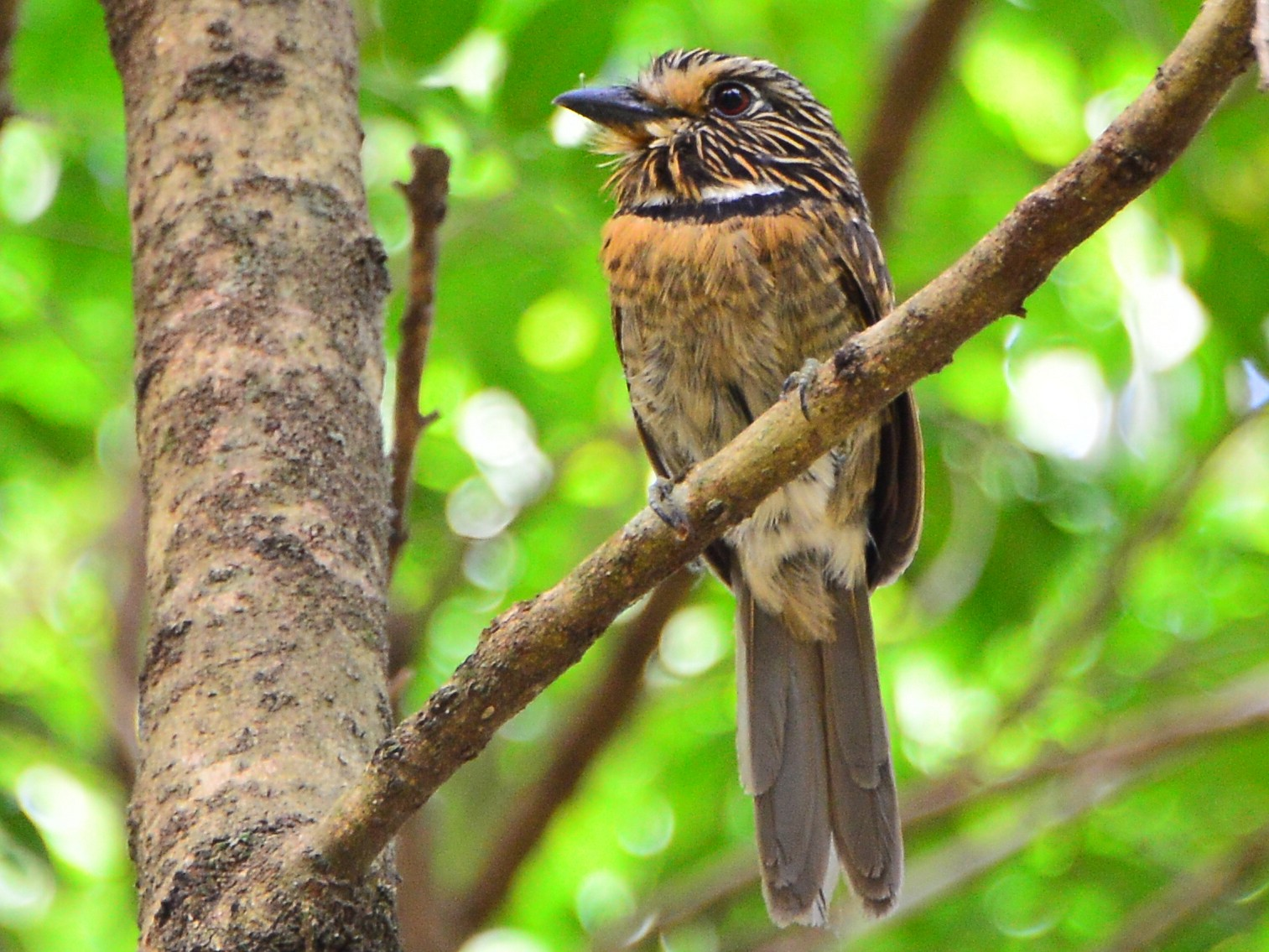Crescent-chested Puffbird - Paulo Boggio