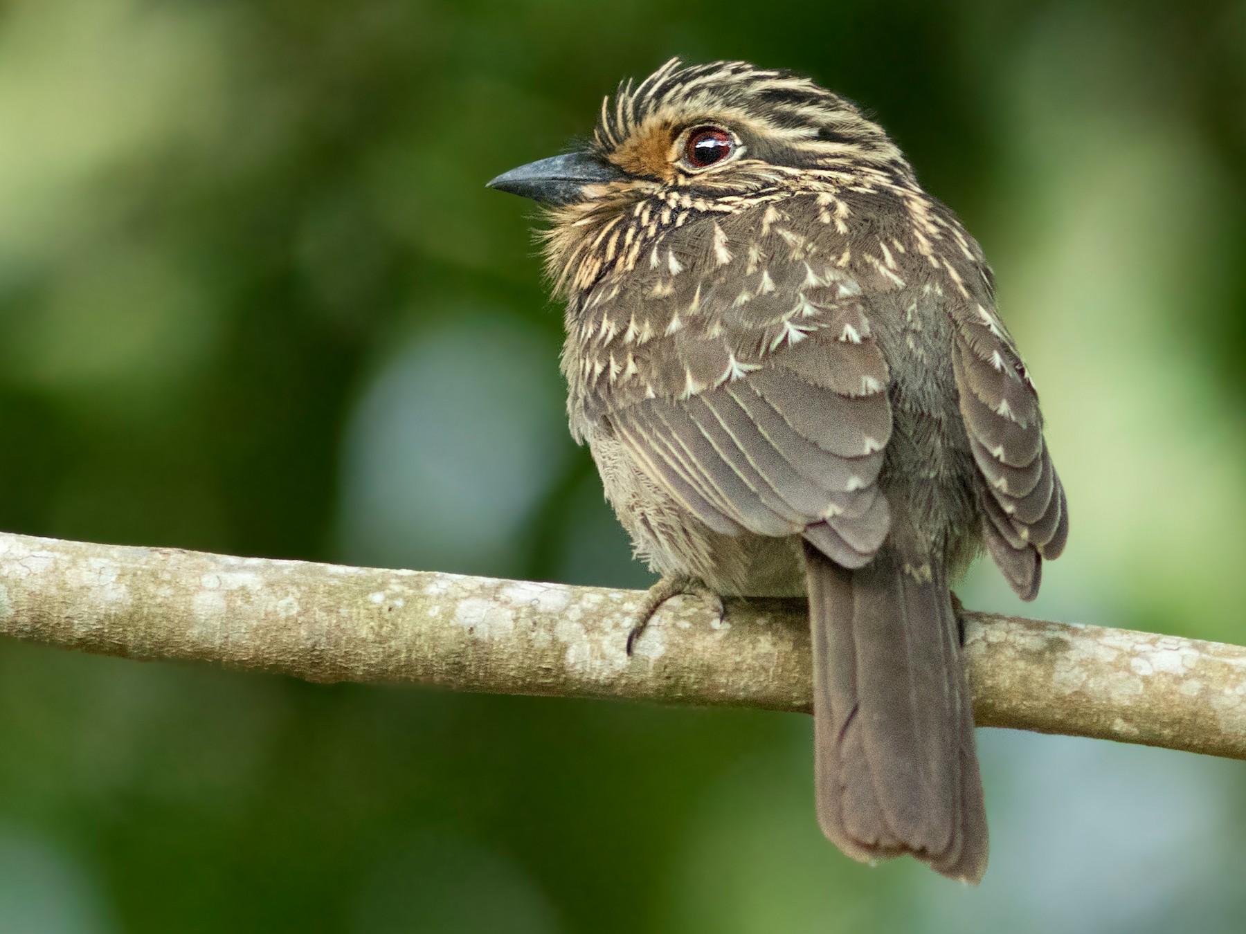 Crescent-chested Puffbird - Caio Brito