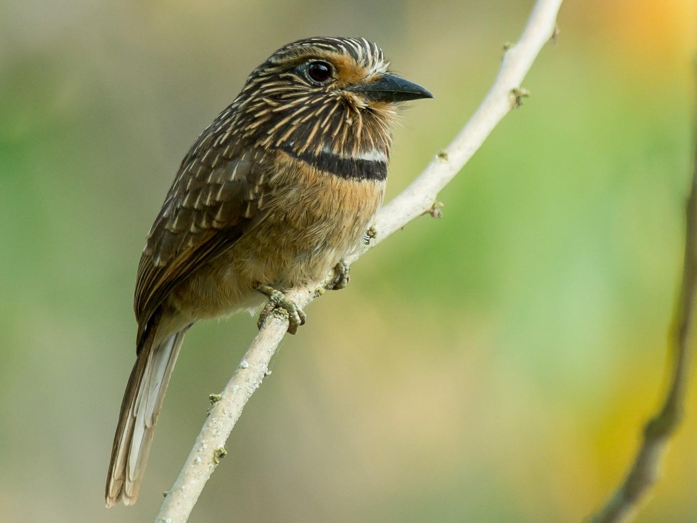 Crescent-chested Puffbird - Joao Quental JQuental