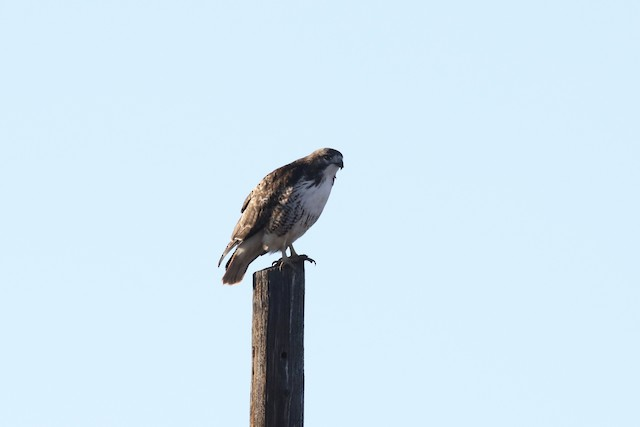 Red-tailed Hawk (Harlan's)