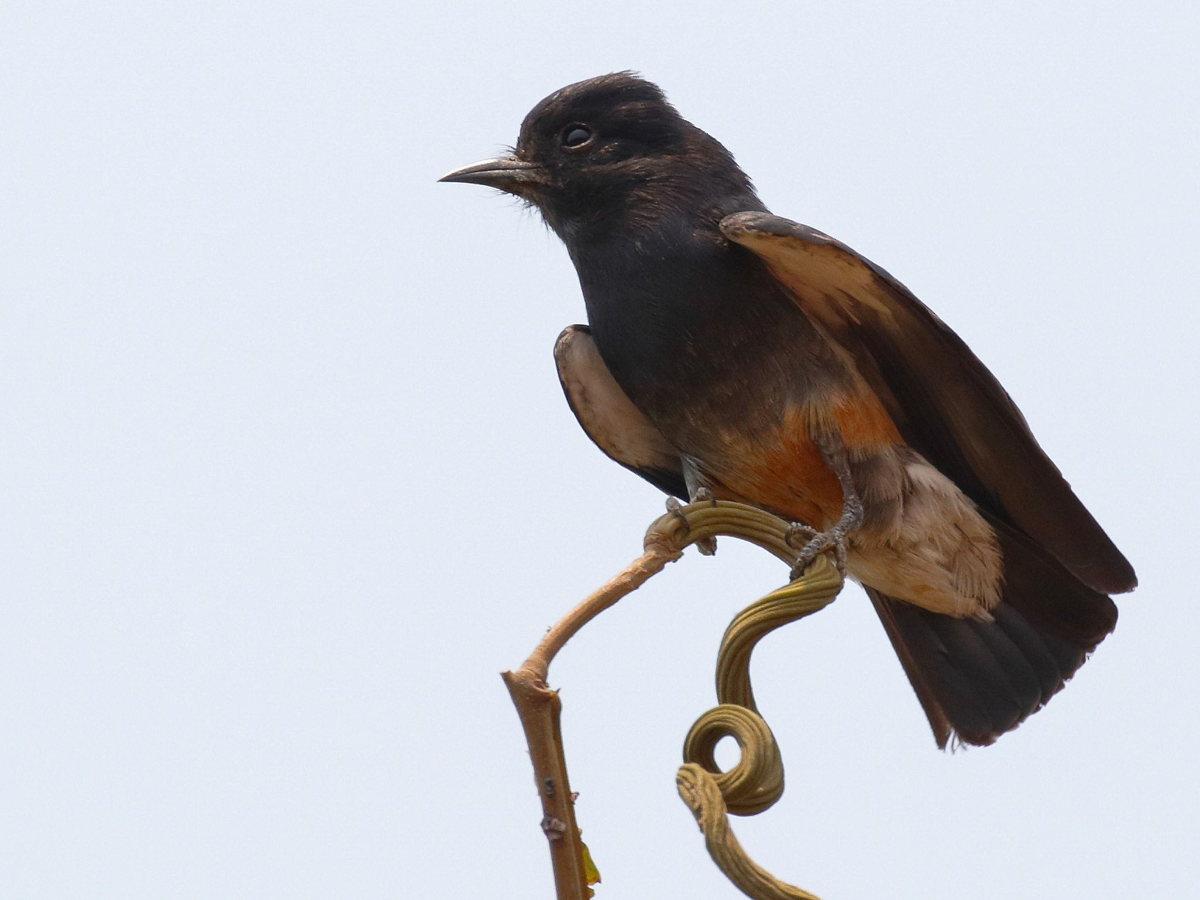 Swallow-winged Puffbird - Dave Curtis