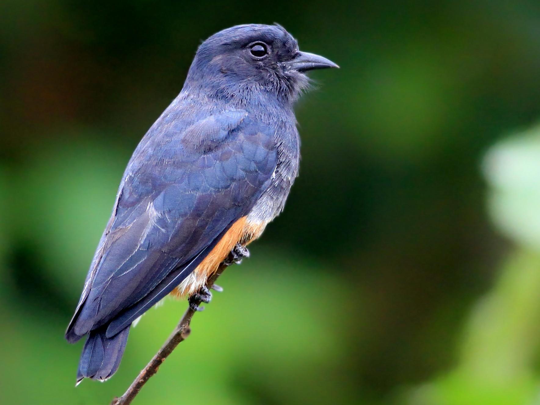 Swallow-winged Puffbird - Ian Davies