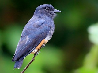 - Swallow-winged Puffbird