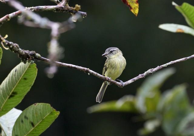 Ecuadorian Tyrannulet