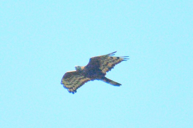 Oriental Honey-buzzard (Indomalayan)