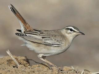 - Rufous-tailed Scrub-Robin (Rufous-tailed)