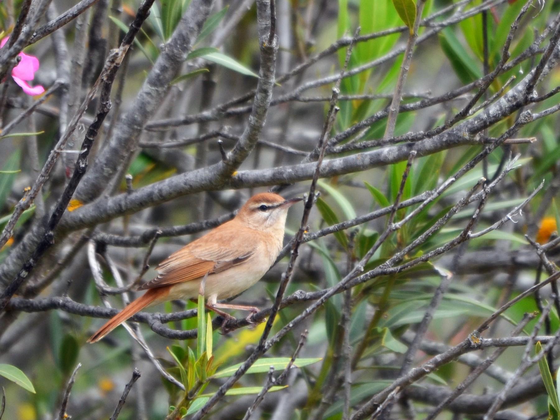 Rufous-tailed Scrub-Robin - Jose Paulo Monteiro