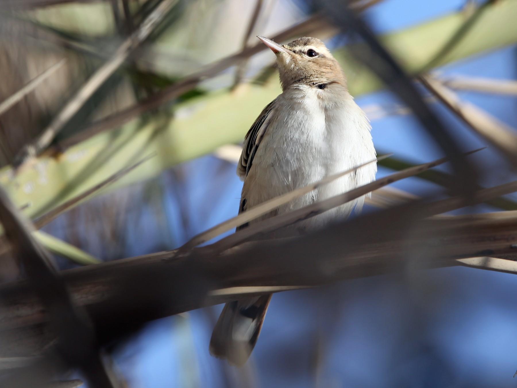 Rufous-tailed Scrub-Robin - Pam Rasmussen