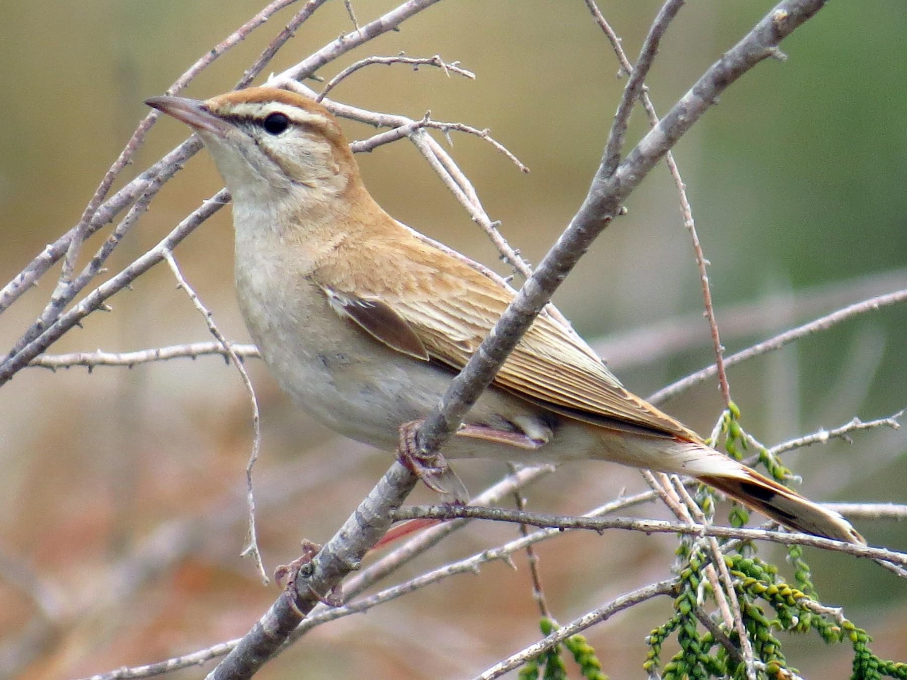 Rufous-tailed Scrub-Robin - Tomas Garcia
