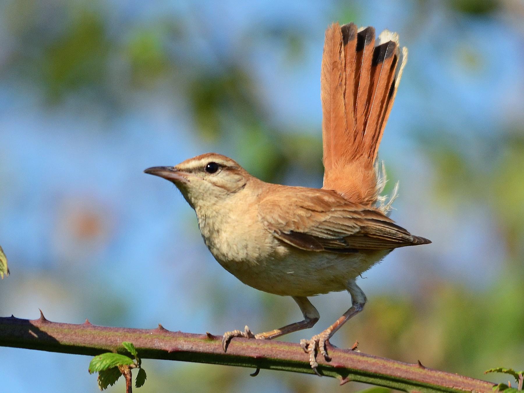 Rufous-tailed Scrub-Robin - José Frade