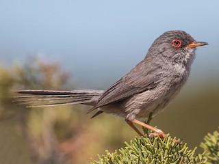 - Balearic Warbler