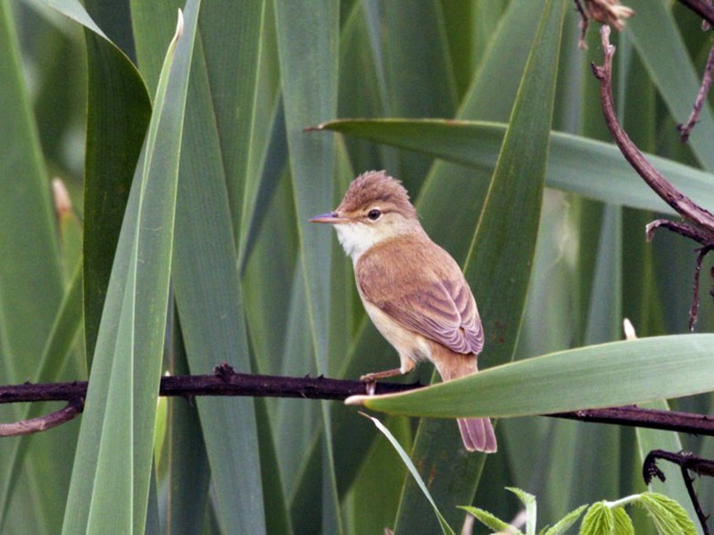 African Reed Warbler - Michelle Martin