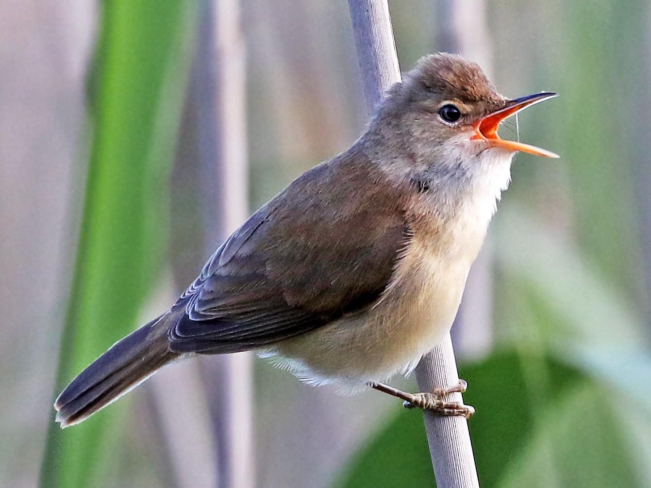 African Reed Warbler - Andrew Spencer