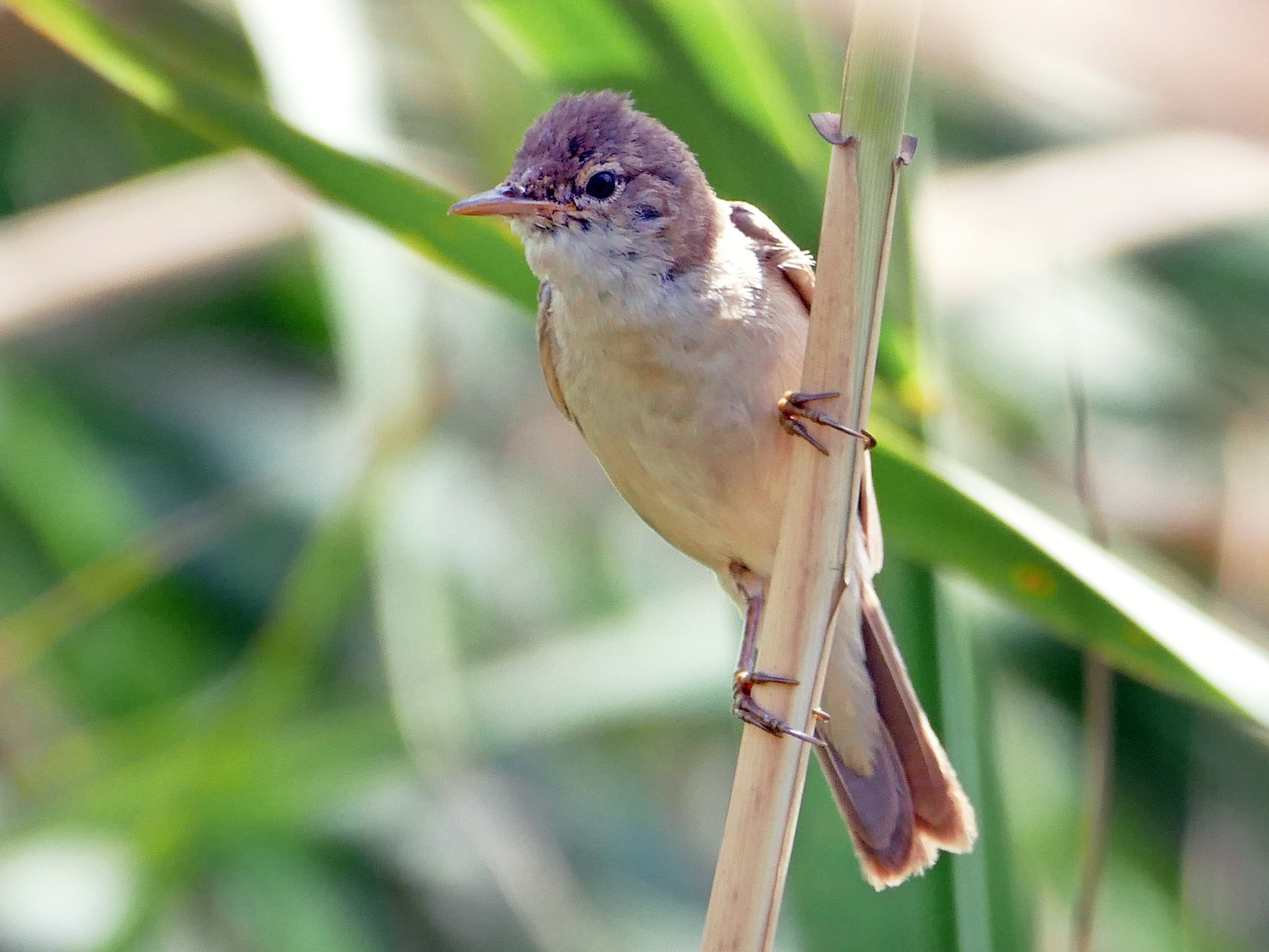 African Reed Warbler - Peter Kaestner