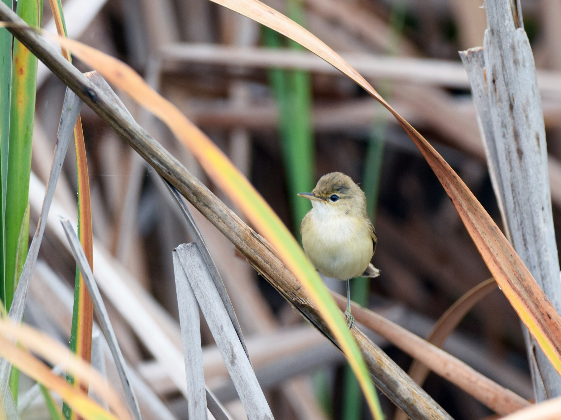 African Reed Warbler - Ryne Rutherford
