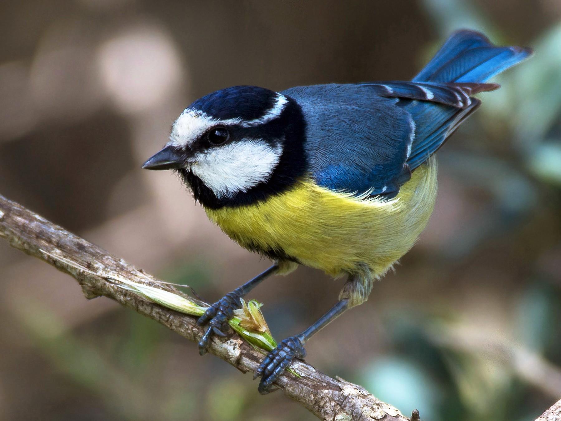 African Blue Tit - R N
