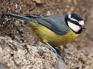 - African Blue Tit