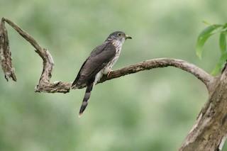 - Malaysian Hawk-Cuckoo