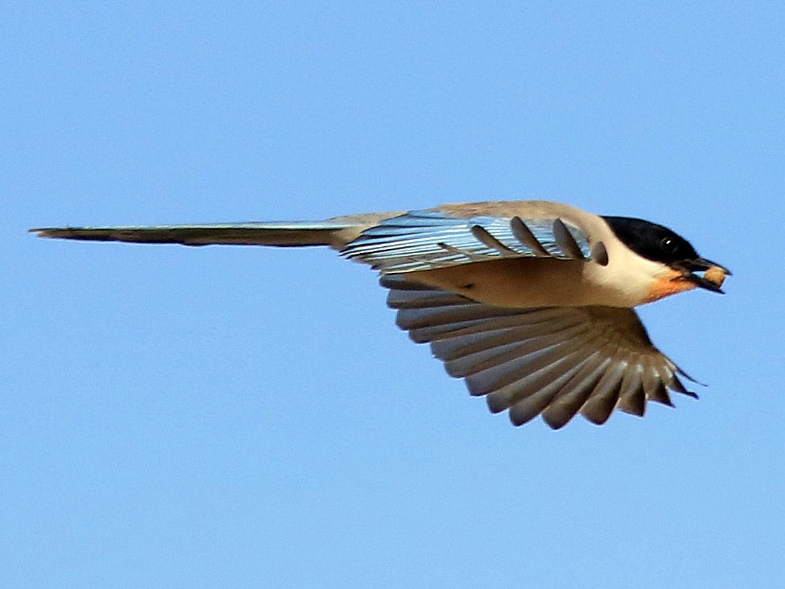 Iberian Magpie - Patrick MONNEY