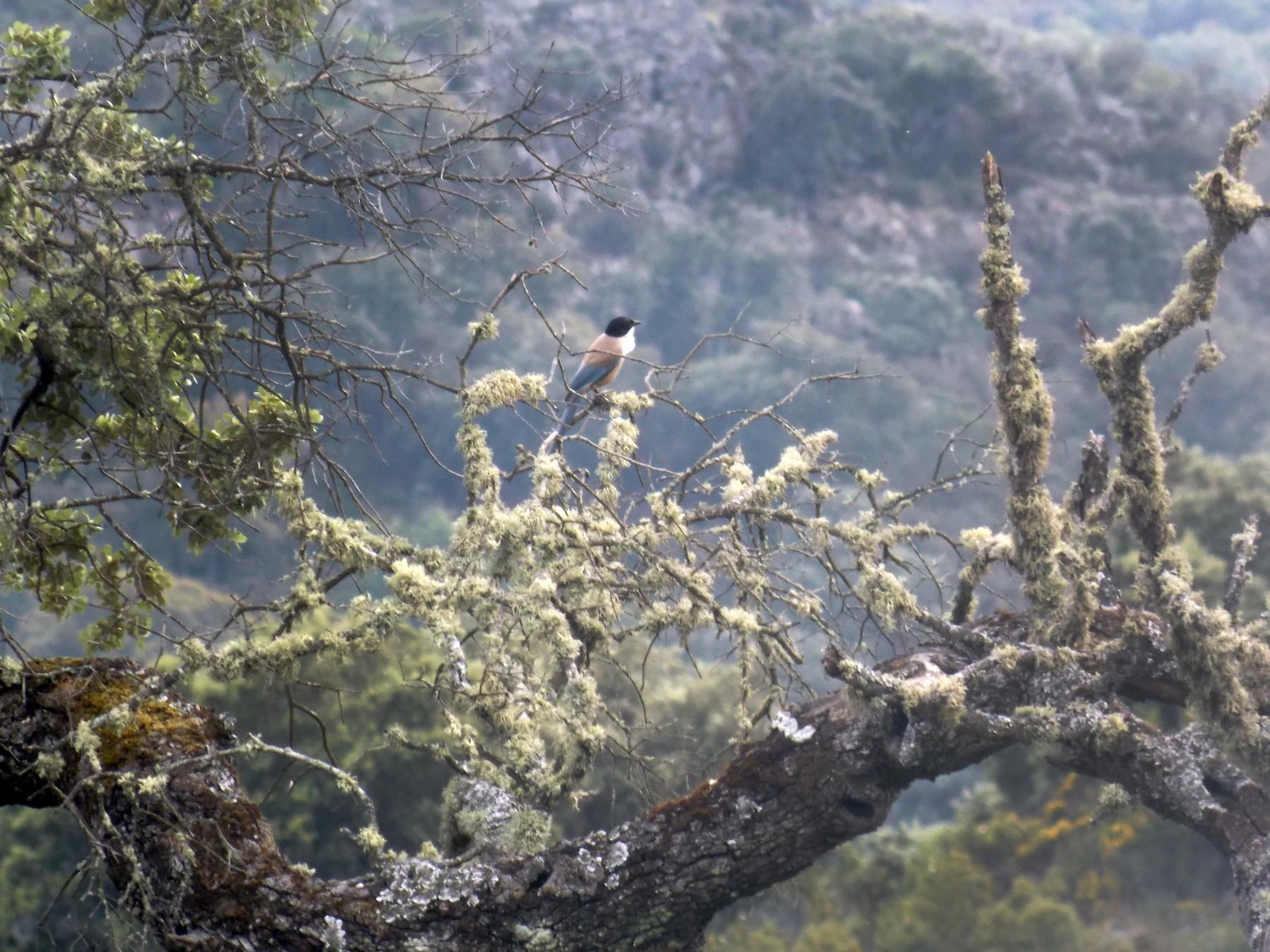 Iberian Magpie - Kasun Bodawatta