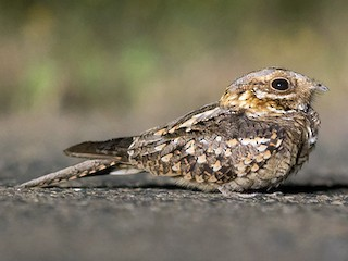 - Red-necked Nightjar