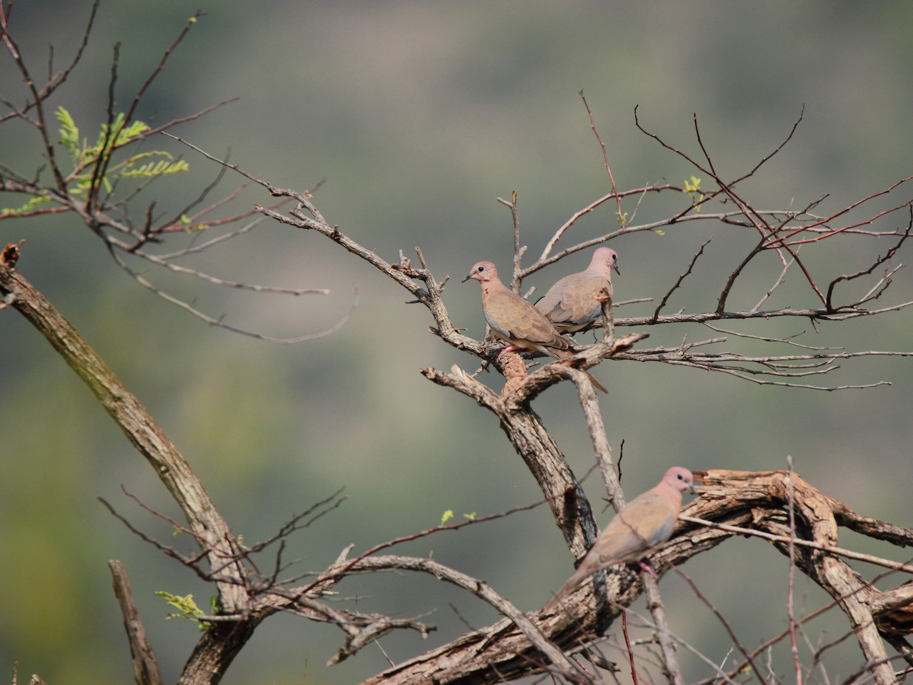 Laughing Dove (Little Brown Dove) - Anonymous eBirder