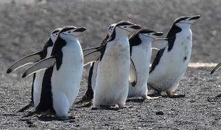 - Chinstrap Penguin