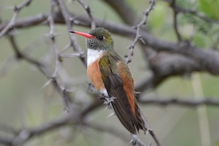 - Amazilia Hummingbird