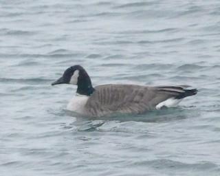 Canada Goose, ML80660831