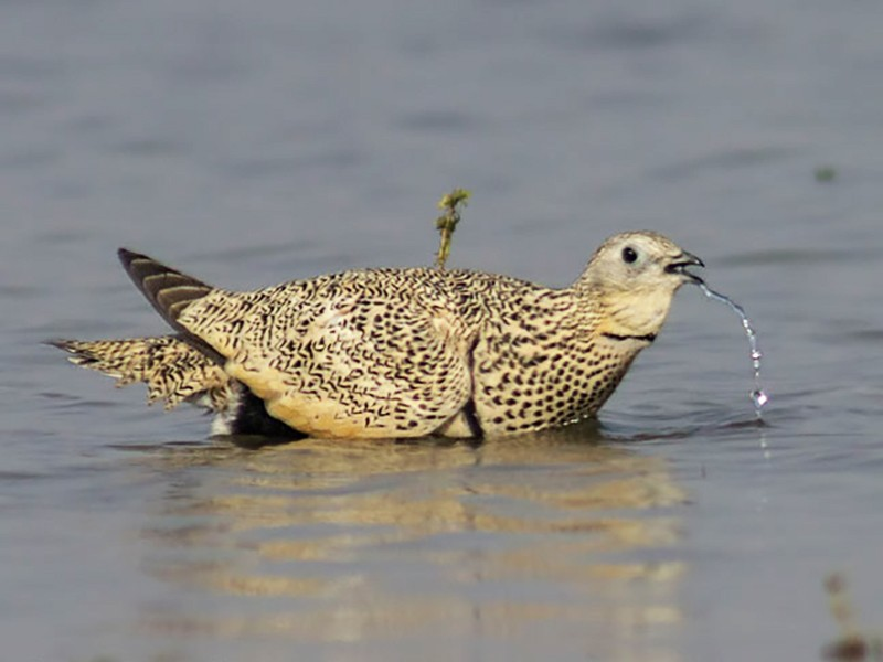 Black-bellied Sandgrouse - Rajneesh Suvarna