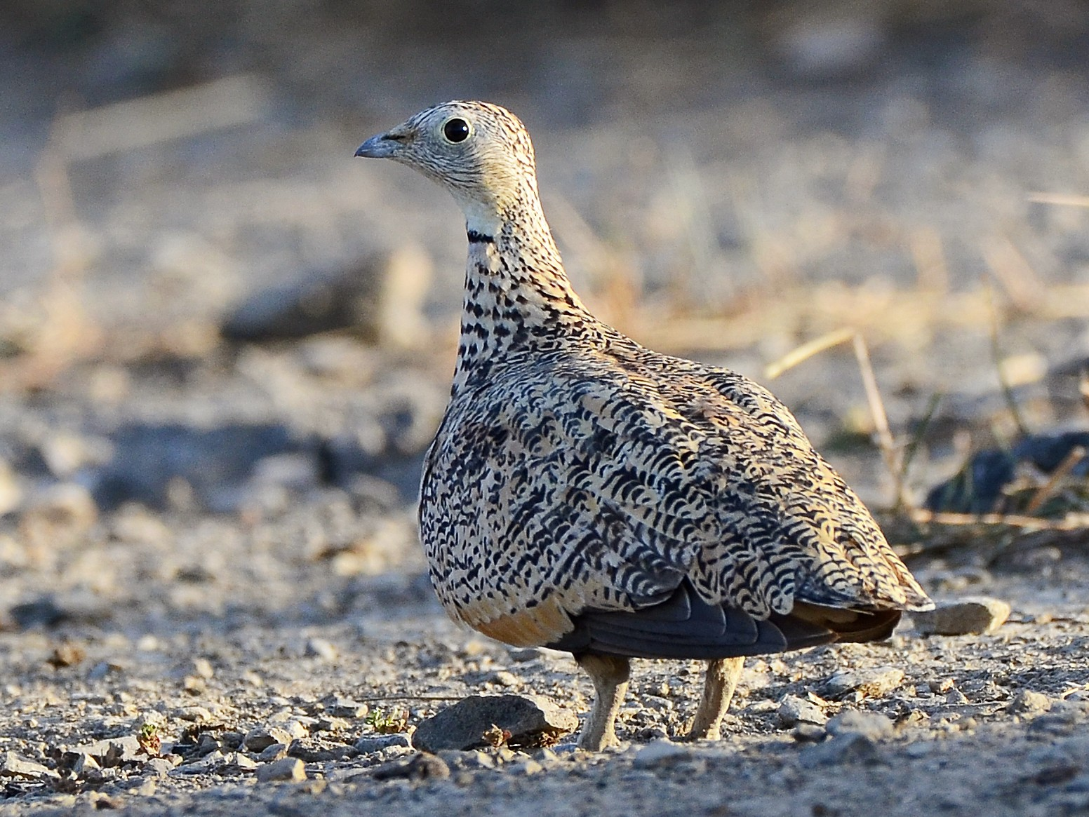 Black-bellied Sandgrouse - José Frade