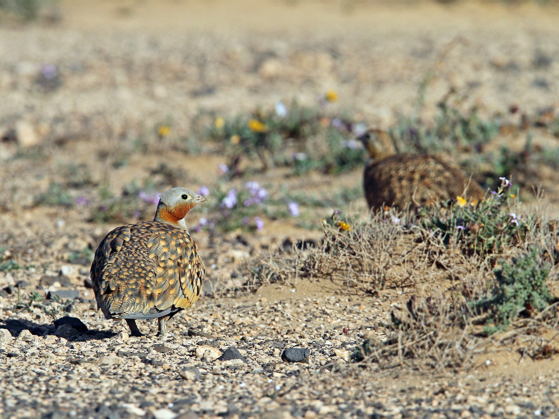 Black-bellied Sandgrouse - Christoph Moning
