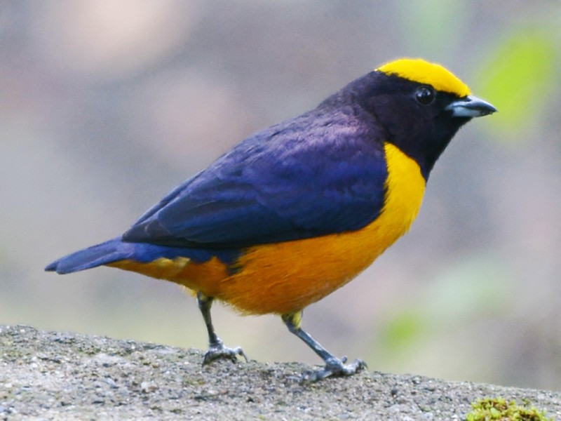 Orange-crowned Euphonia - Wladimir Giraldo Velasquez
