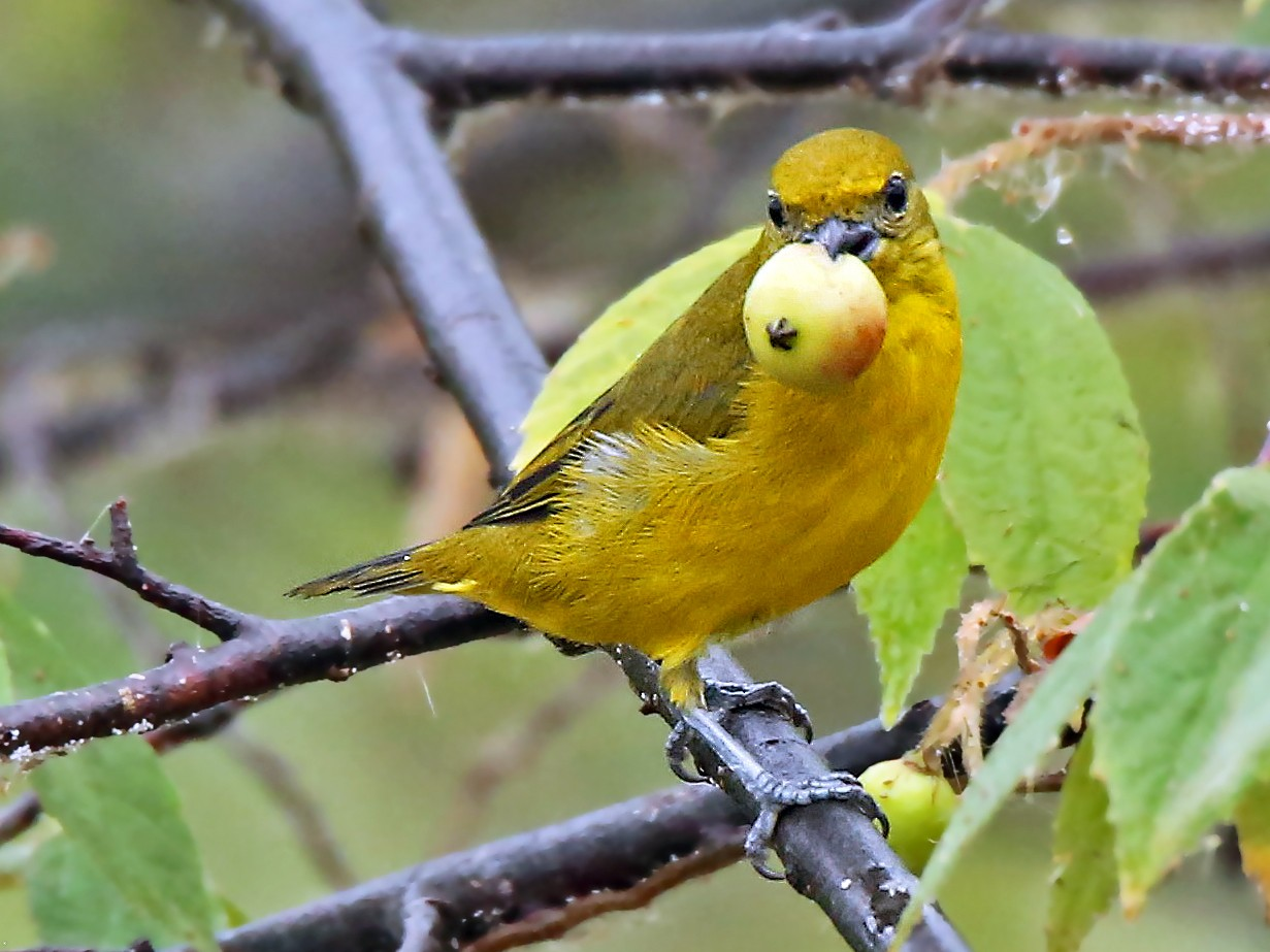 Orange-crowned Euphonia - Roger Ahlman