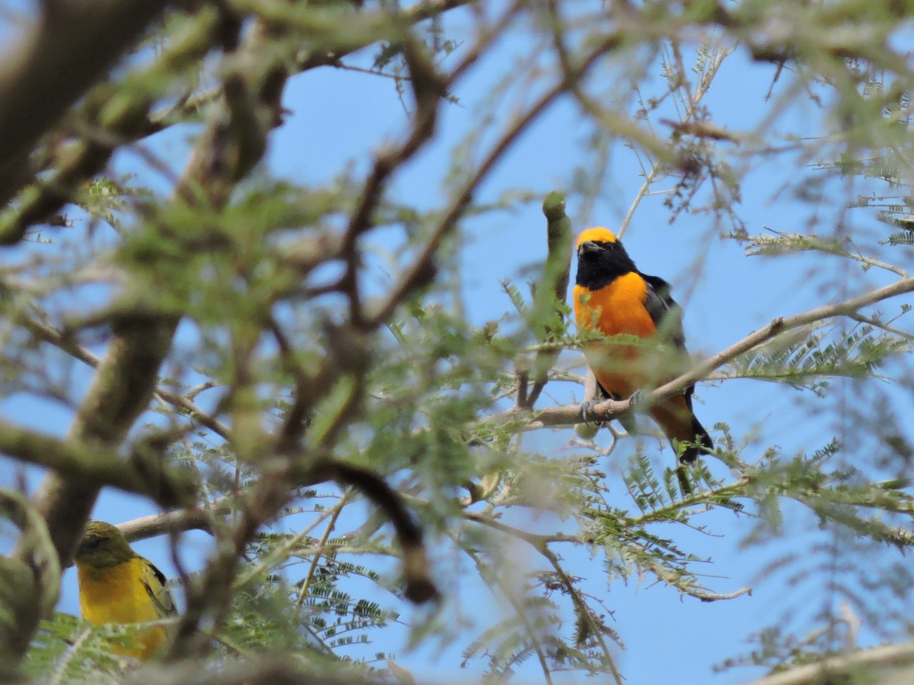 Orange-crowned Euphonia - Igor Lazo - CORBIDI
