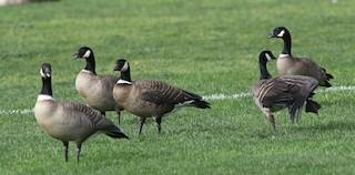 Cackling Goose (Aleutian), ML80711811