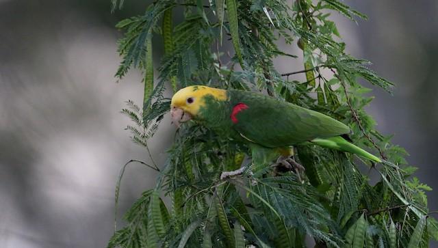 Yellow-headed Parrot (Mainland)