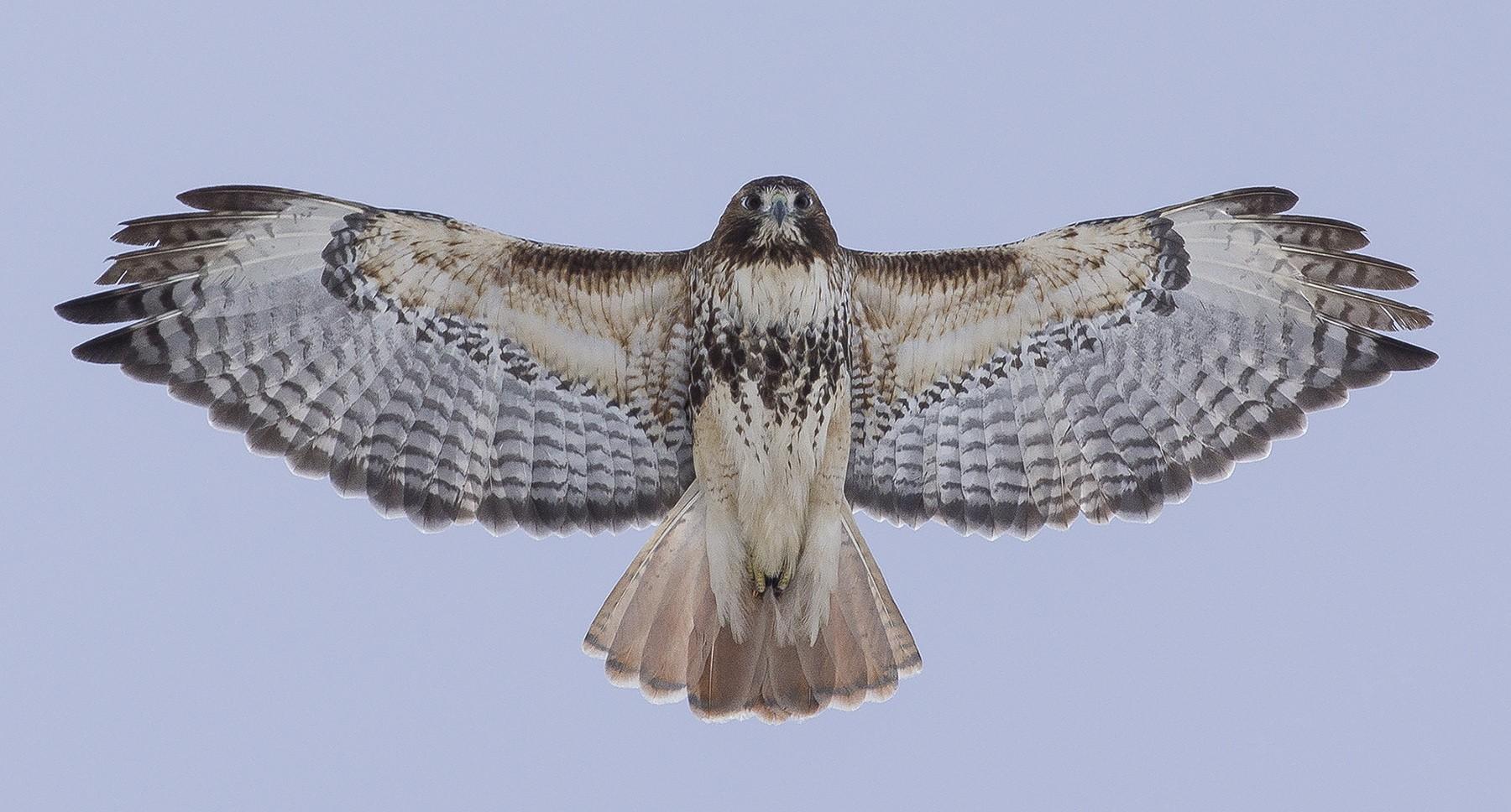 Red-tailed Hawk (abieticola) - Vincent Fyson