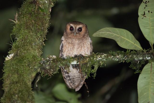 Rufescent Screech-Owl (Colombian)
