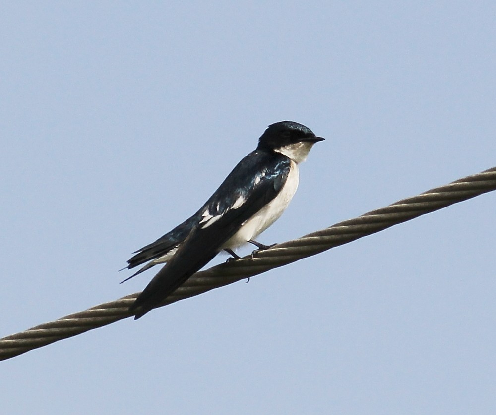 Pied-winged Swallow - Jason Leifester