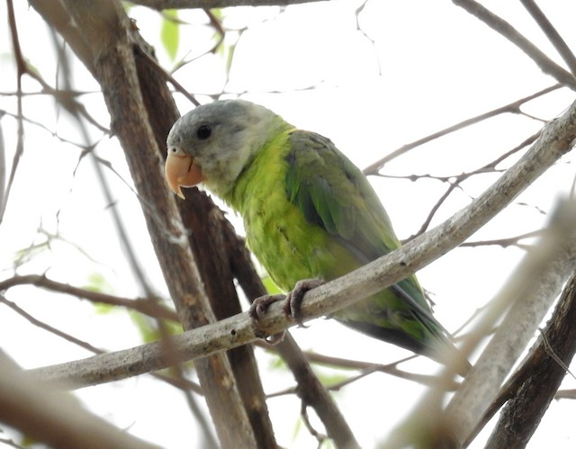 Gray-cheeked Parakeet