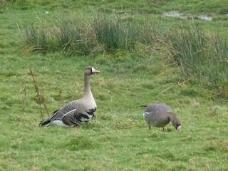 Greater White-fronted Goose (Eurasian), ML81001791