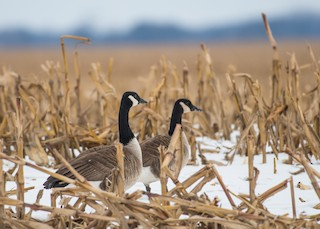Canada Goose, ML81052171