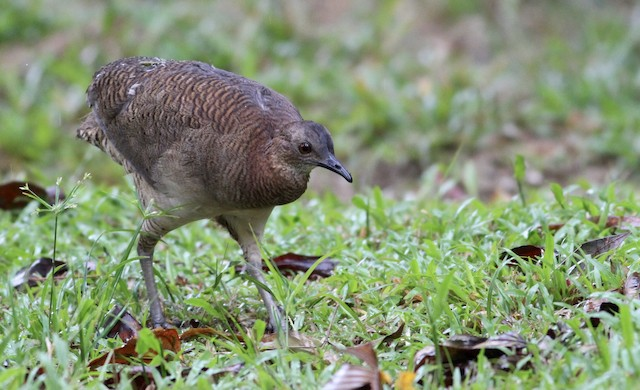 Undulated Tinamou