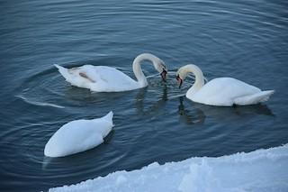 Mute Swan, ML81061661