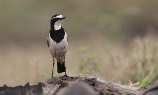 - Capped Wheatear