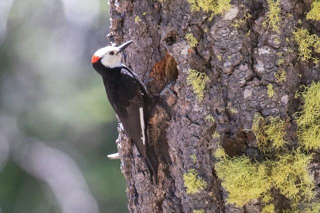 White-headed Woodpecker at nest cavity.