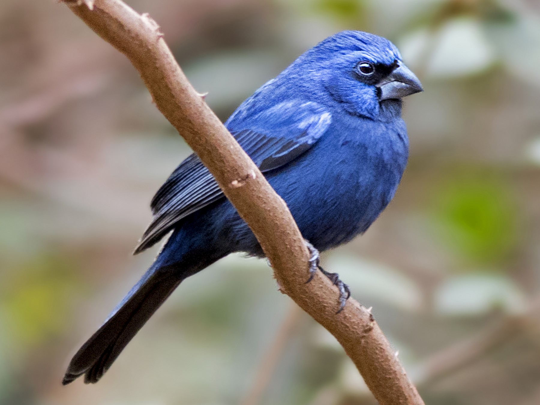 Ultramarine Grosbeak - Caio Brito