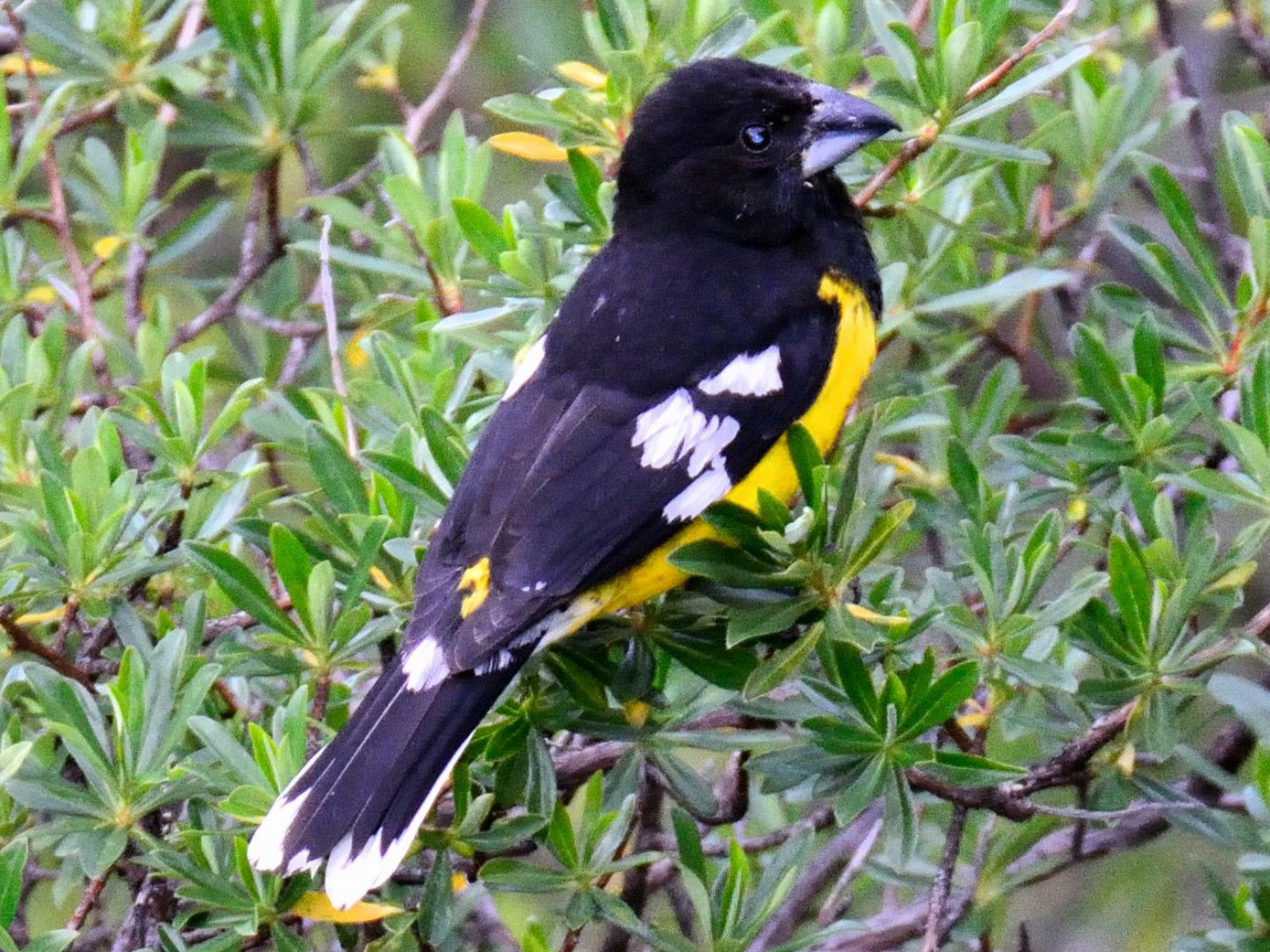 Black-backed Grosbeak - Ulrich Menzel